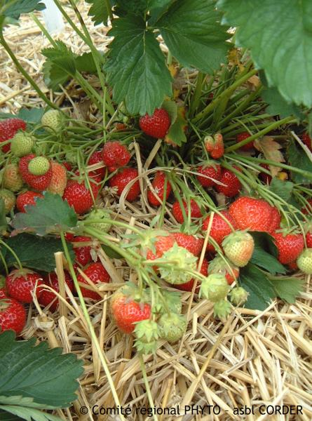 Paillage en culture de fraises pour limiter l'apparition d'adventices